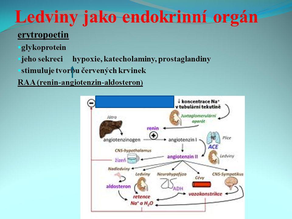 Ledviny jako endokrinní orgán erytropoetin  glykoprotein  jeho sekreci hypoxie, katecholaminy, prostaglandiny  stimuluje tvorbu červených krvinek RAA (renin-angiotenzin-aldosteron )