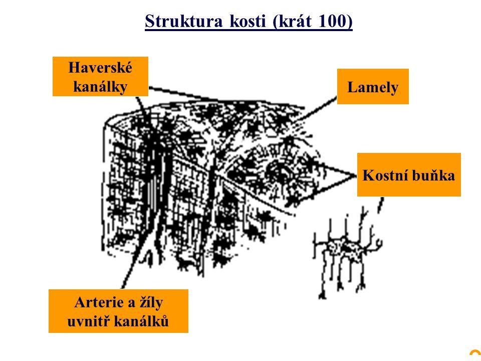 Haverské kanálky Lamely Kostní buňka Arterie a žíly uvnitř kanálků Struktura kosti (krát 100)