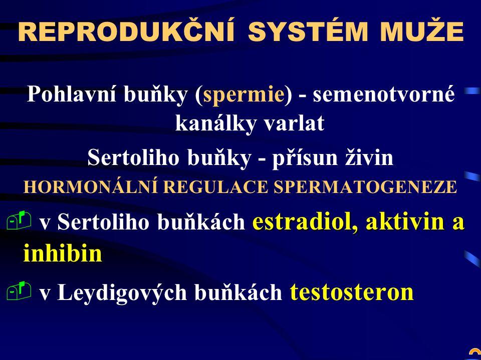 REPRODUKČNÍ SYSTÉM MUŽE Pohlavní buňky (spermie) - semenotvorné kanálky varlat Sertoliho buňky - přísun živin HORMONÁLNÍ REGULACE SPERMATOGENEZE estradiol, aktivin a inhibin  v Sertoliho buňkách estradiol, aktivin a inhibin  v Leydigových buňkách testosteron