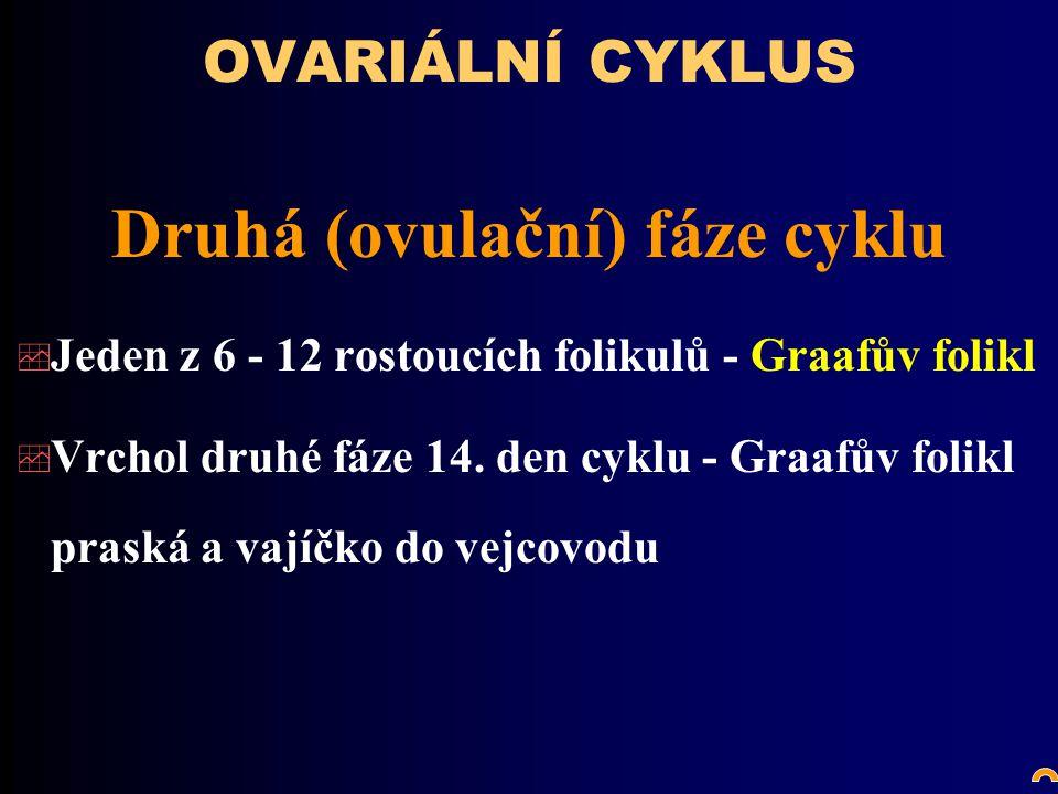 OVARIÁLNÍ CYKLUS Druhá (ovulační) fáze cyklu  Jeden z 6 - 12 rostoucích folikulů - Graafův folikl  Vrchol druhé fáze 14.