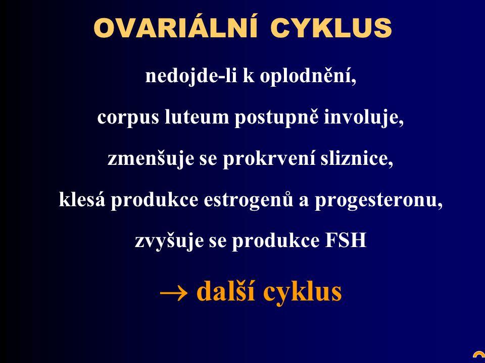 OVARIÁLNÍ CYKLUS nedojde-li k oplodnění, corpus luteum postupně involuje, zmenšuje se prokrvení sliznice, klesá produkce estrogenů a progesteronu, zvyšuje se produkce FSH  další cyklus