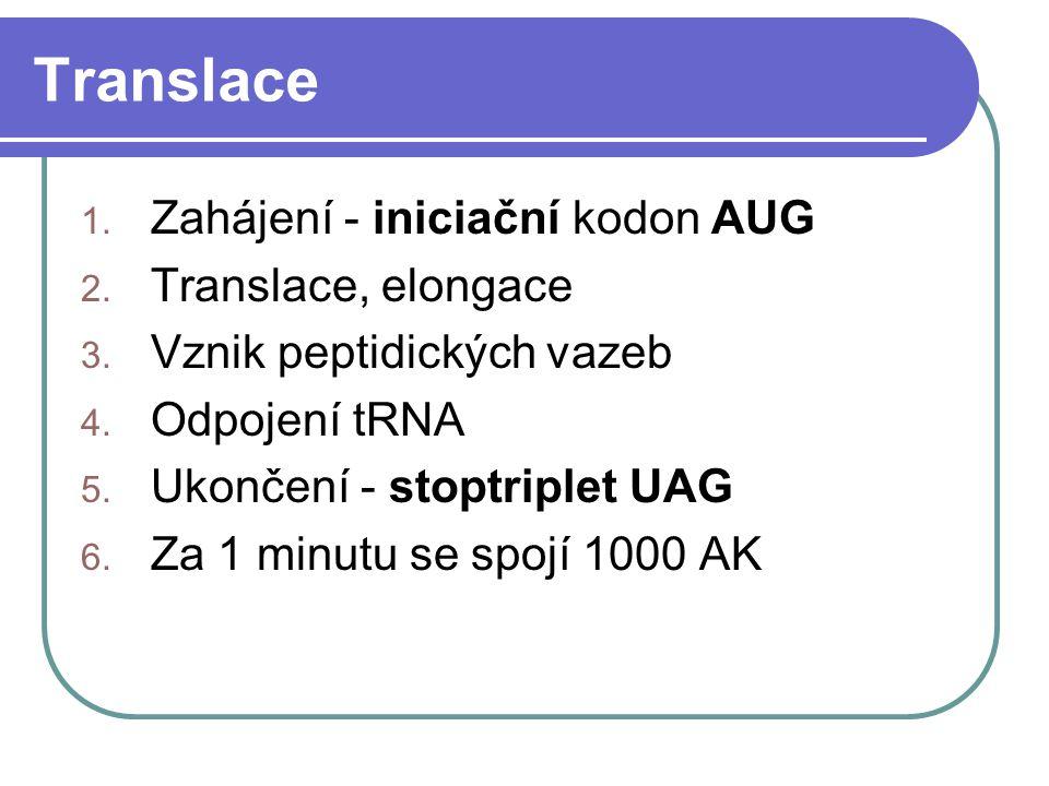 Translace 1. Zahájení - iniciační kodon AUG 2. Translace, elongace 3. Vznik peptidických vazeb 4. Odpojení tRNA 5. Ukončení - stoptriplet UAG 6. Za 1