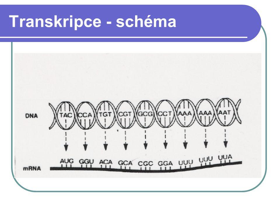 Translace Překlad genetické informace z pořadí nukleotidů v mRNA do pořadí AK v bílkovinném řetězci Děj probíhá v ribozomech Spojení antikodonu tRNA s kodonem na mRNA