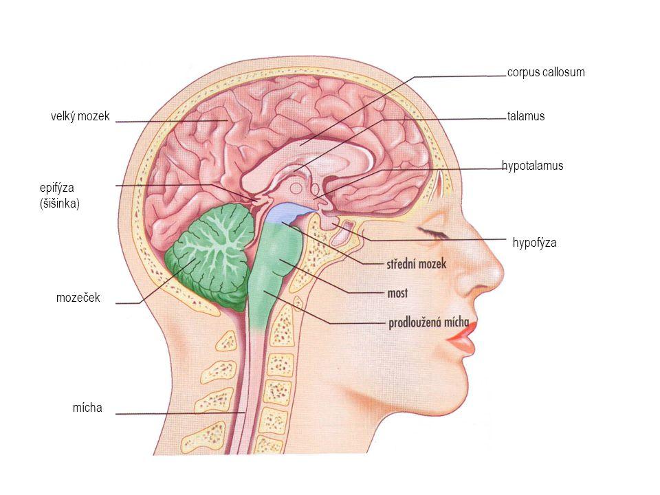 mícha mozeček epifýza (šišinka) velký mozek corpus callosum talamus hypotalamus hypofýza