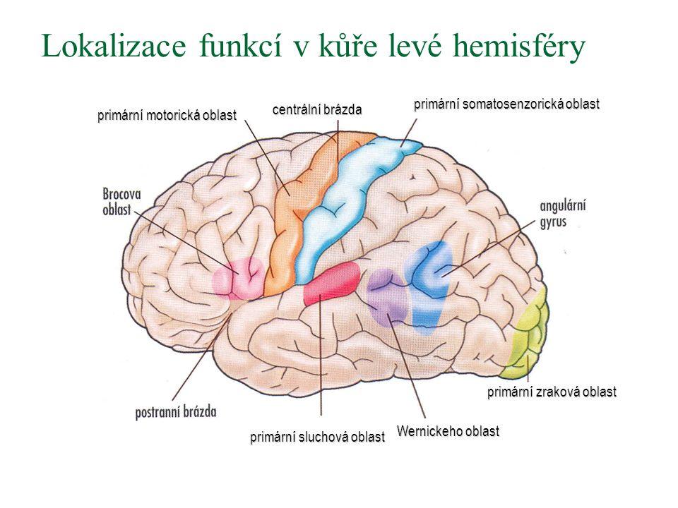 Lokalizace funkcí v kůře levé hemisféry primární sluchová oblast Wernickeho oblast primární zraková oblast primární somatosenzorická oblast centrální brázda primární motorická oblast