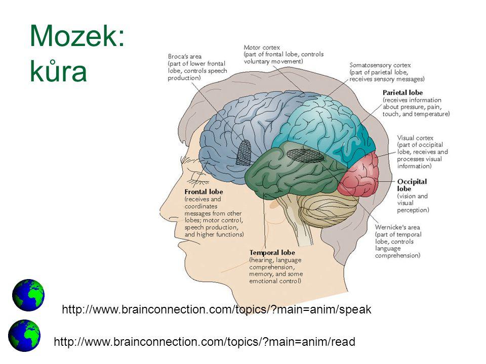 Mozek: kůra http://www.brainconnection.com/topics/?main=anim/read http://www.brainconnection.com/topics/?main=anim/speak