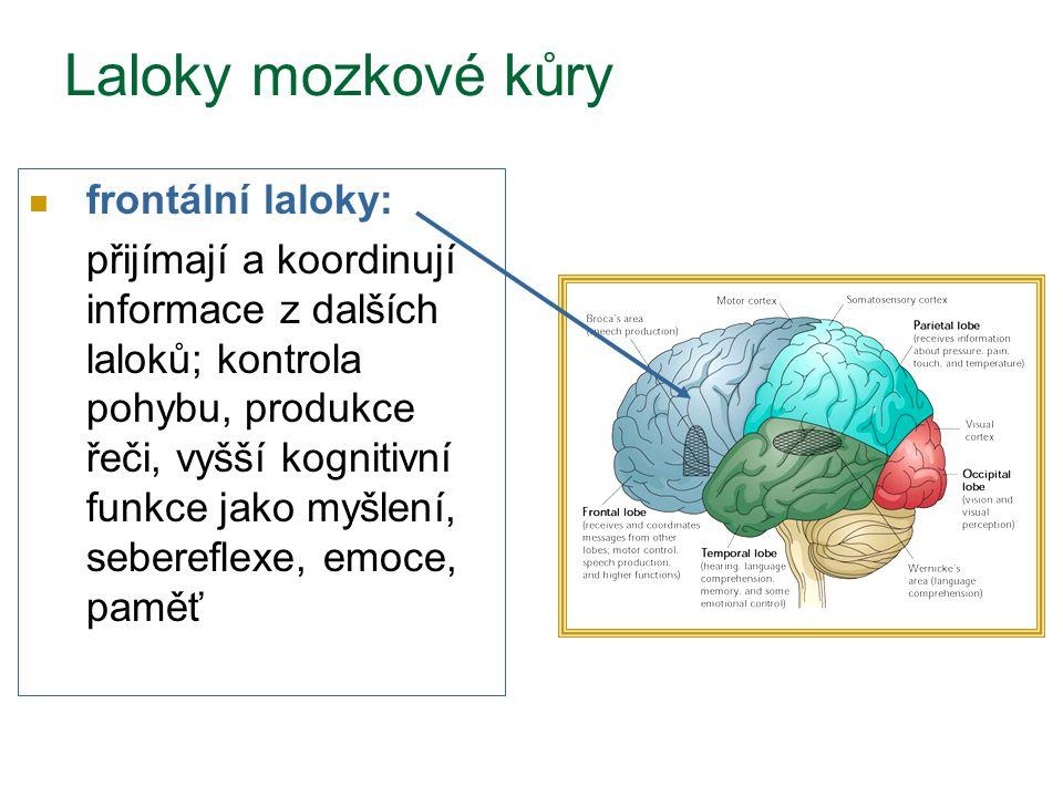 Laloky mozkové kůry frontální laloky: přijímají a koordinují informace z dalších laloků; kontrola pohybu, produkce řeči, vyšší kognitivní funkce jako myšlení, sebereflexe, emoce, paměť