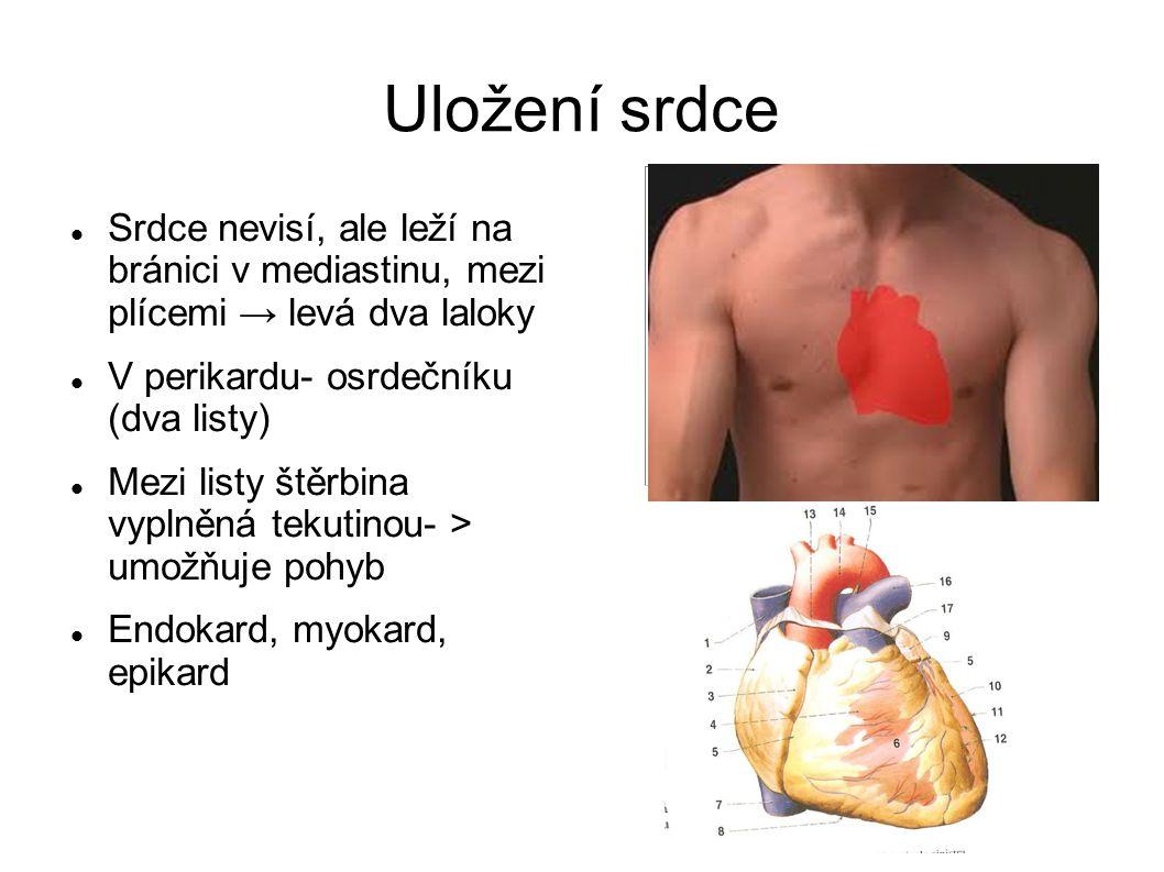 Uložení srdce Srdce nevisí, ale leží na bránici v mediastinu, mezi plícemi → levá dva laloky V perikardu- osrdečníku (dva listy) Mezi listy štěrbina v