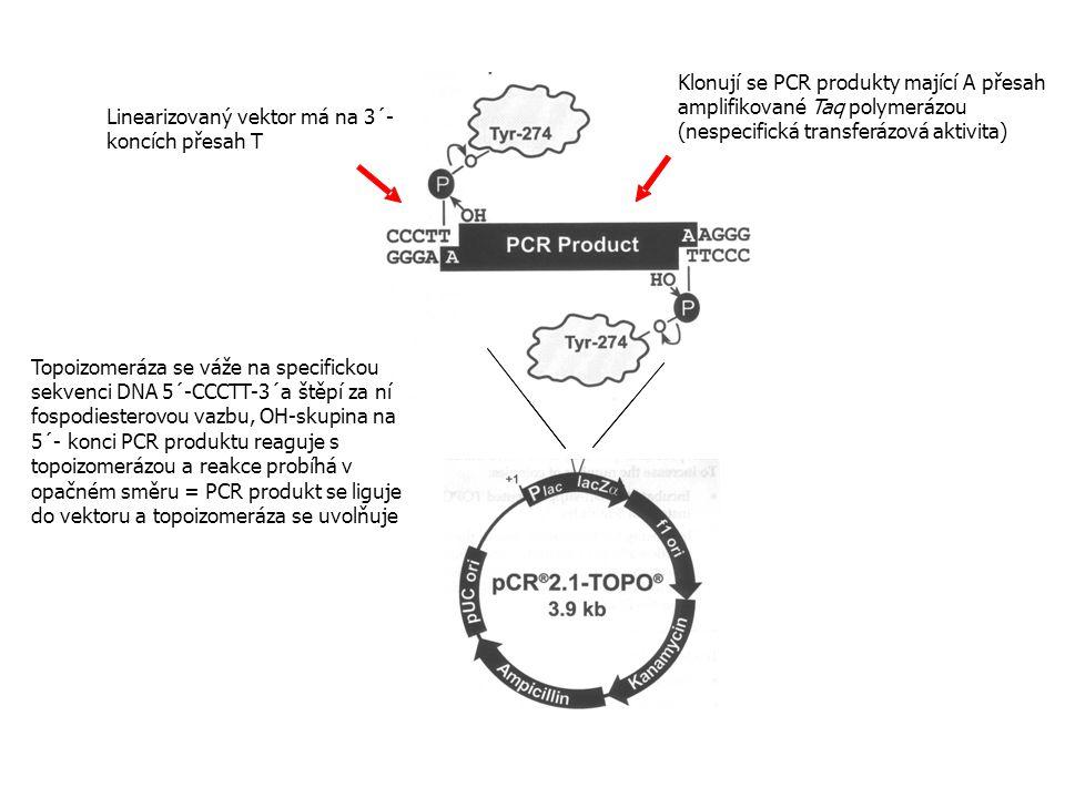 Klonují se PCR produkty mající A přesah amplifikované Taq polymerázou (nespecifická transferázová aktivita) Linearizovaný vektor má na 3´- koncích pře