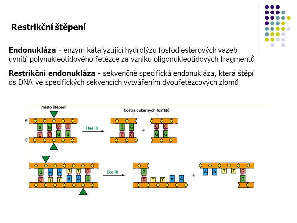 Restrikční štěpení Restrikční endonukláza - sekvenčně specifická endonukláza, která štěpí ds DNA ve specifických sekvencích vytvářením dvouřetězcových