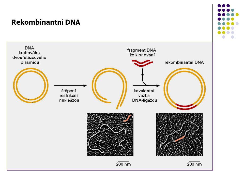 Příprava rekombinantní DNA DNA ligáza - enzym katalyzující ligaci polynukleotidů, tj.