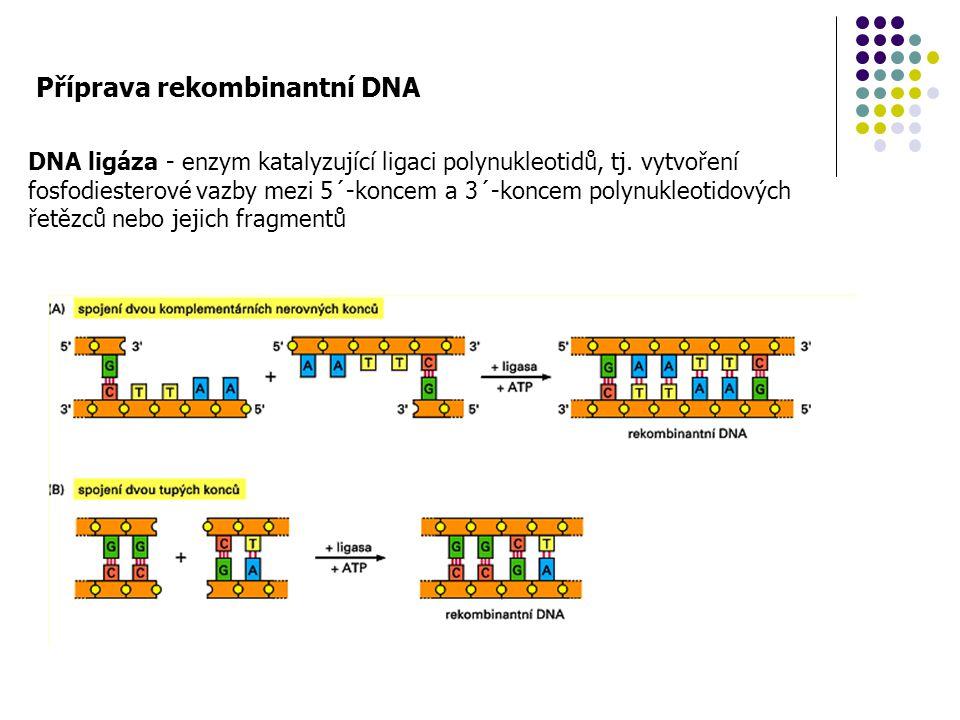 Příprava rekombinantní DNA DNA ligáza - enzym katalyzující ligaci polynukleotidů, tj. vytvoření fosfodiesterové vazby mezi 5´-koncem a 3´-koncem polyn