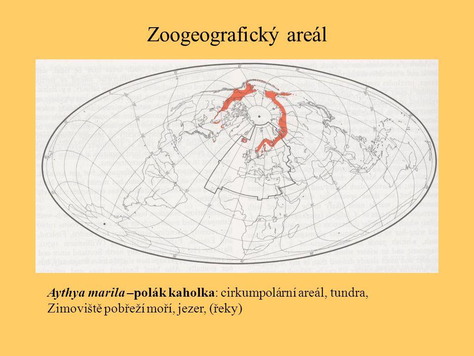 Zoogeografický areál Aythya marila –polák kaholka: cirkumpolární areál, tundra, Zimoviště pobřeží moří, jezer, (řeky)