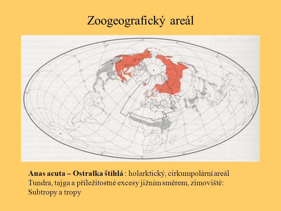 Zoogeografický areál Anas acuta – Ostralka štíhlá : holarktický, cirkumpolární areál Tundra, tajga a příležitostné excesy jižním směrem, zimoviště: Su