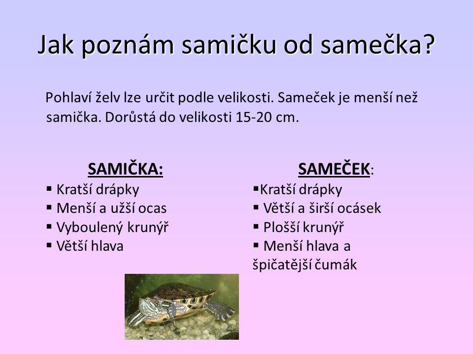 Jak poznám samičku od samečka? Pohlaví želv lze určit podle velikosti. Sameček je menší než samička. Dorůstá do velikosti 15-20 cm. SAMIČKA:  Kratší
