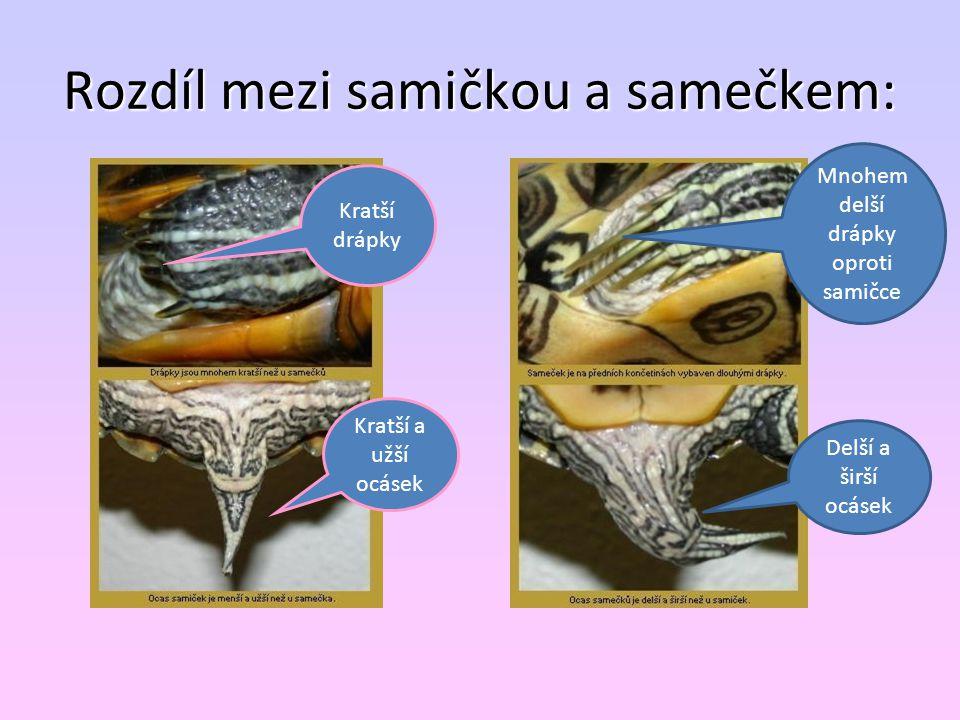 Rozdíl mezi samičkou a samečkem: Kratší drápky Kratší a užší ocásek Mnohem delší drápky oproti samičce Delší a širší ocásek