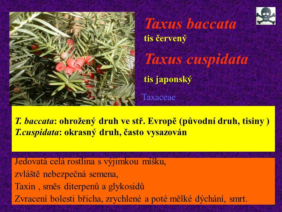 Taxus baccata tis červený T. baccata: ohrožený druh ve stř. Evropě (původní druh, tisiny ) T.cuspidata: okrasný druh, často vysazován Taxus cuspidata
