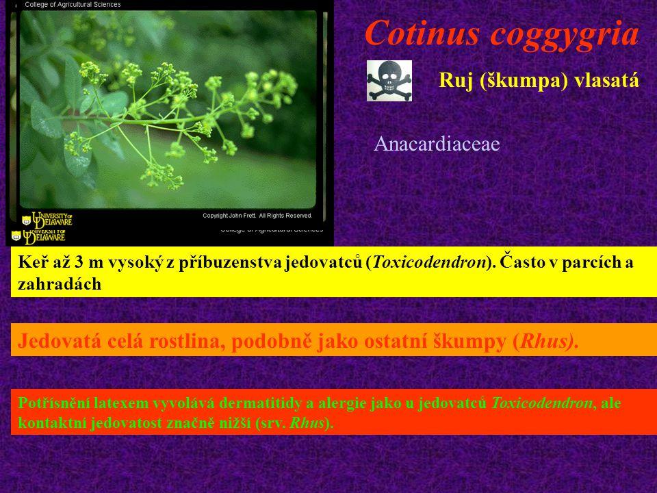 Cotinus coggygria Ruj (škumpa) vlasatá Keř až 3 m vysoký z příbuzenstva jedovatců (Toxicodendron). Často v parcích a zahradách Jedovatá celá rostlina,