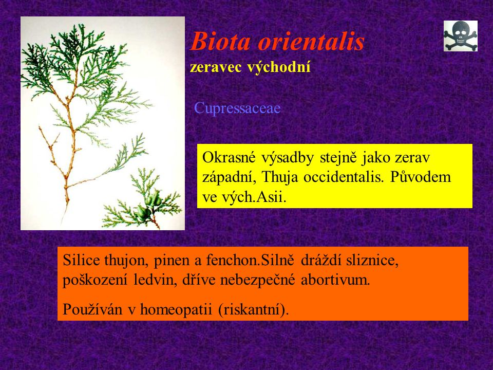 Biota orientalis zeravec východní Cupressaceae Okrasné výsadby stejně jako zerav západní, Thuja occidentalis. Původem ve vých.Asii. Silice thujon, pin
