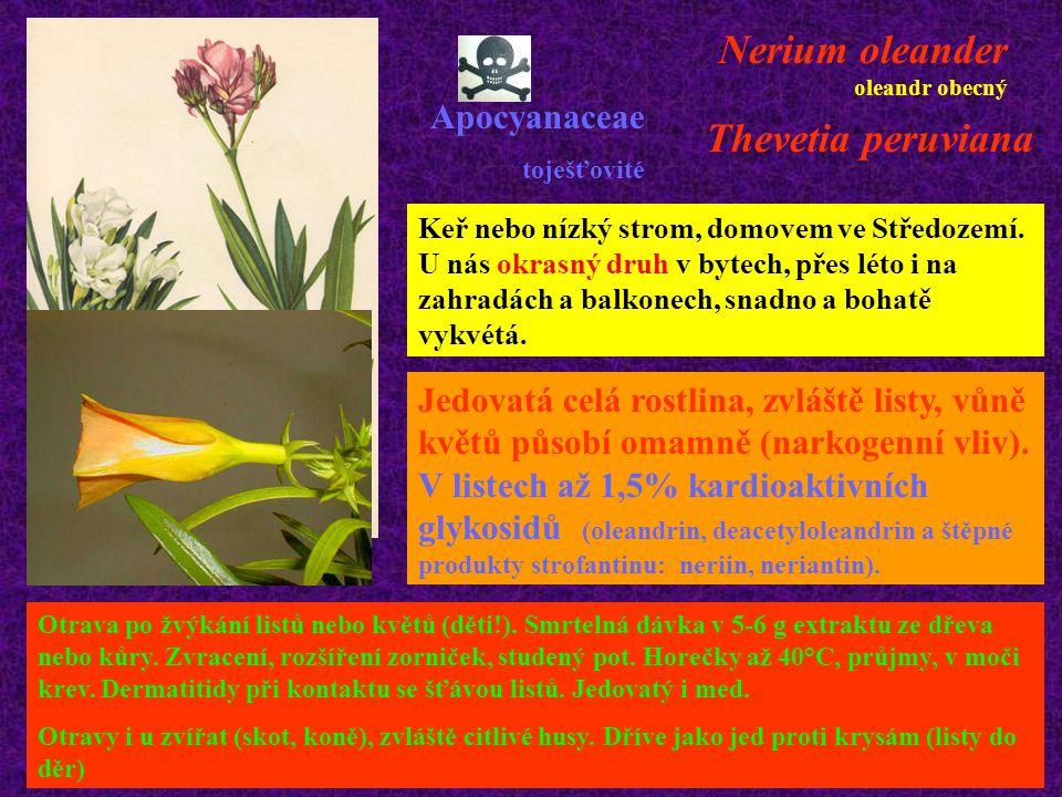Nerium oleander oleandr obecný Apocyanaceae toješťovité Keř nebo nízký strom, domovem ve Středozemí. U nás okrasný druh v bytech, přes léto i na zahra