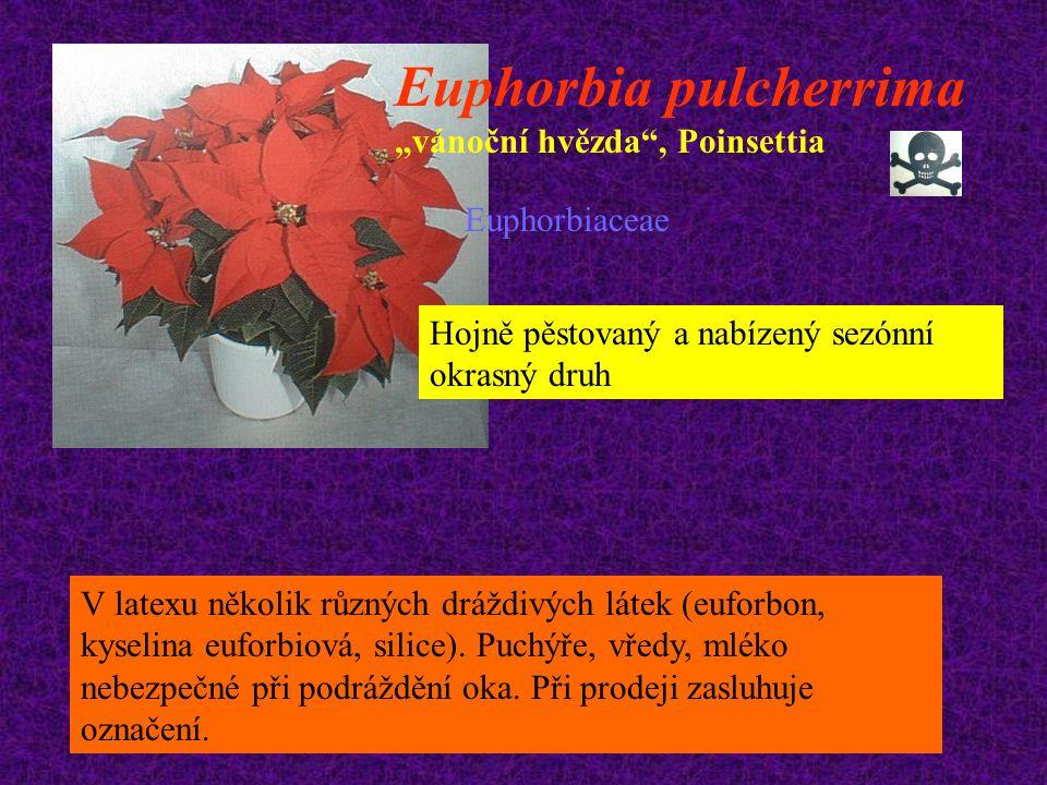 """Euphorbia pulcherrima """"vánoční hvězda"""", Poinsettia Euphorbiaceae Hojně pěstovaný a nabízený sezónní okrasný druh V latexu několik různých dráždivých l"""