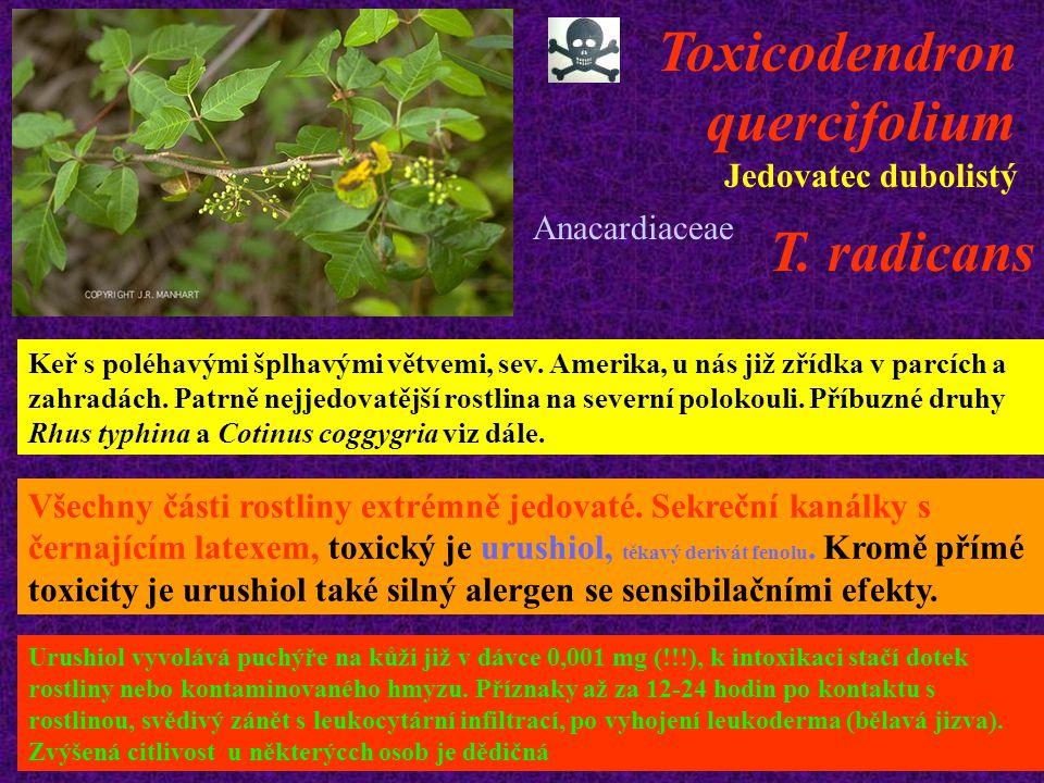 Toxicodendron quercifolium Jedovatec dubolistý T. radicans Keř s poléhavými šplhavými větvemi, sev. Amerika, u nás již zřídka v parcích a zahradách. P