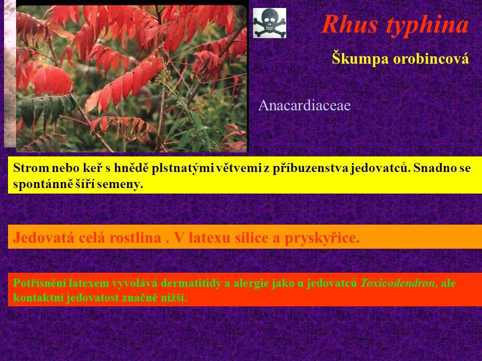 Rhus typhina Škumpa orobincová Strom nebo keř s hnědě plstnatými větvemi z příbuzenstva jedovatců. Snadno se spontánně šíří semeny. Jedovatá celá rost