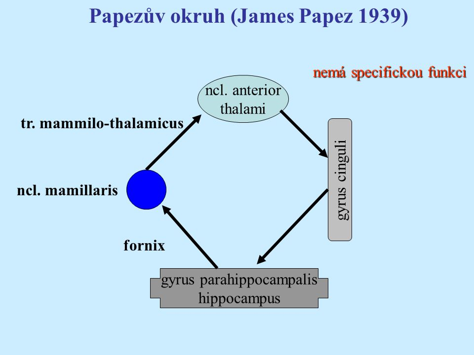 Papezův okruh (James Papez 1939) nemá specifickou funkci ncl. anterior thalami gyrus parahippocampalis hippocampus ncl. mamillaris gyrus cinguli tr. m