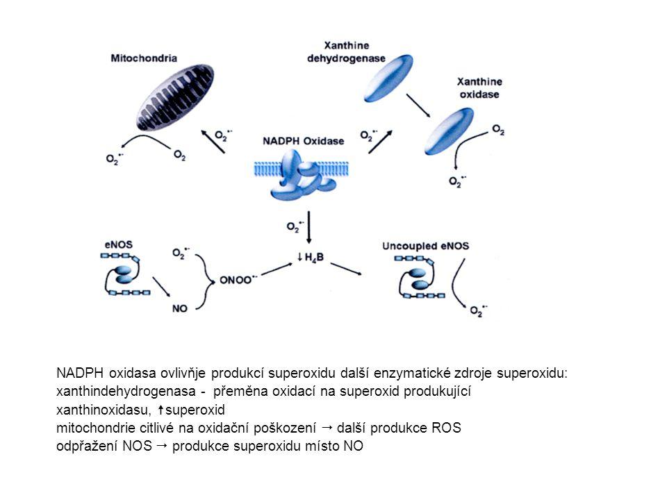 NADPH oxidasa ovlivňje produkcí superoxidu další enzymatické zdroje superoxidu: xanthindehydrogenasa - přeměna oxidací na superoxid produkující xanthi