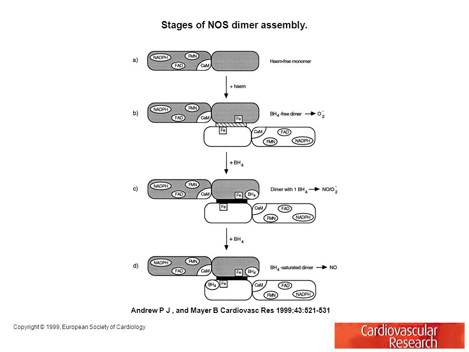 Stages of NOS dimer assembly. Andrew P J, and Mayer B Cardiovasc Res 1999;43:521-531 Copyright © 1999, European Society of Cardiology
