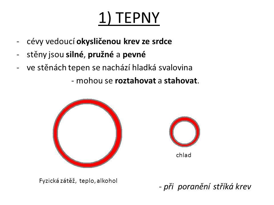 1) TEPNY -cévy vedoucí okysličenou krev ze srdce -stěny jsou silné, pružné a pevné -ve stěnách tepen se nachází hladká svalovina - mohou se roztahovat