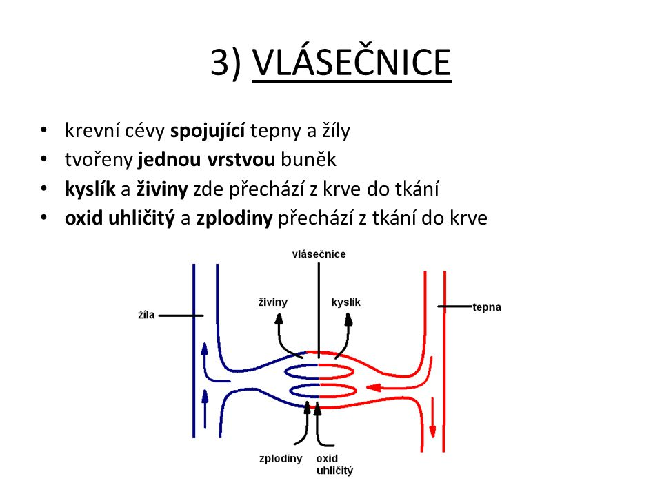 3) VLÁSEČNICE krevní cévy spojující tepny a žíly tvořeny jednou vrstvou buněk kyslík a živiny zde přechází z krve do tkání oxid uhličitý a zplodiny př