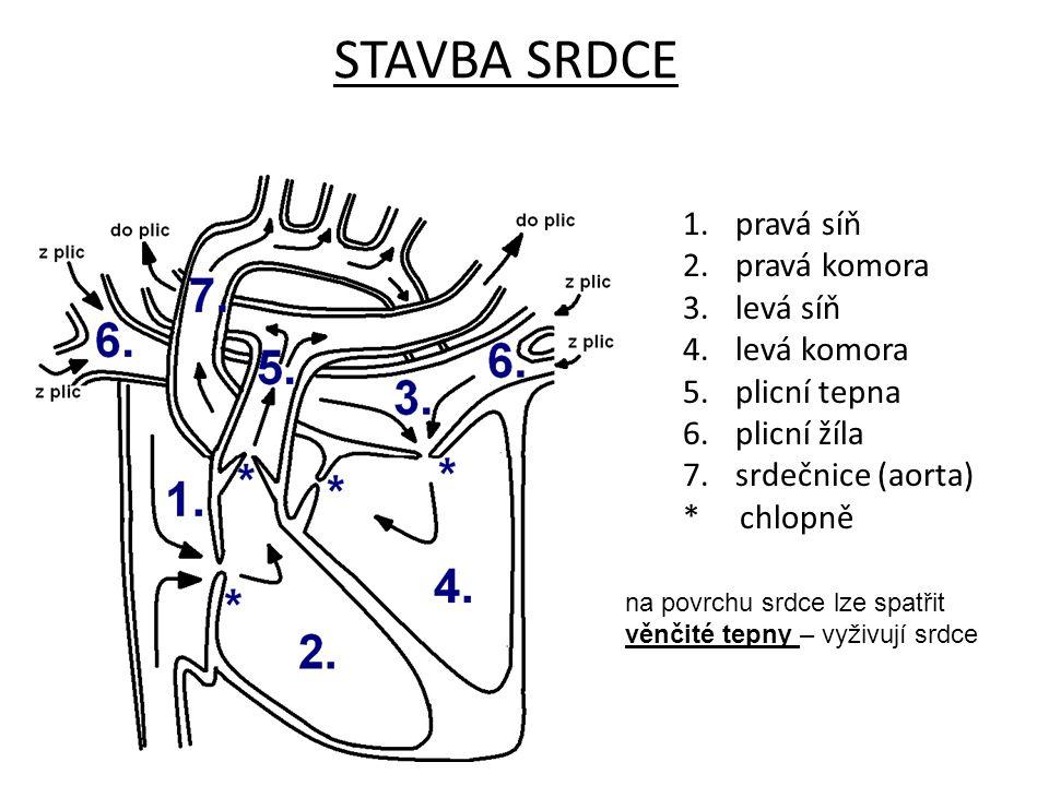STAVBA SRDCE 1.pravá síň 2.pravá komora 3.levá síň 4.levá komora 5.plicní tepna 6.plicní žíla 7.srdečnice (aorta) * chlopně na povrchu srdce lze spatř