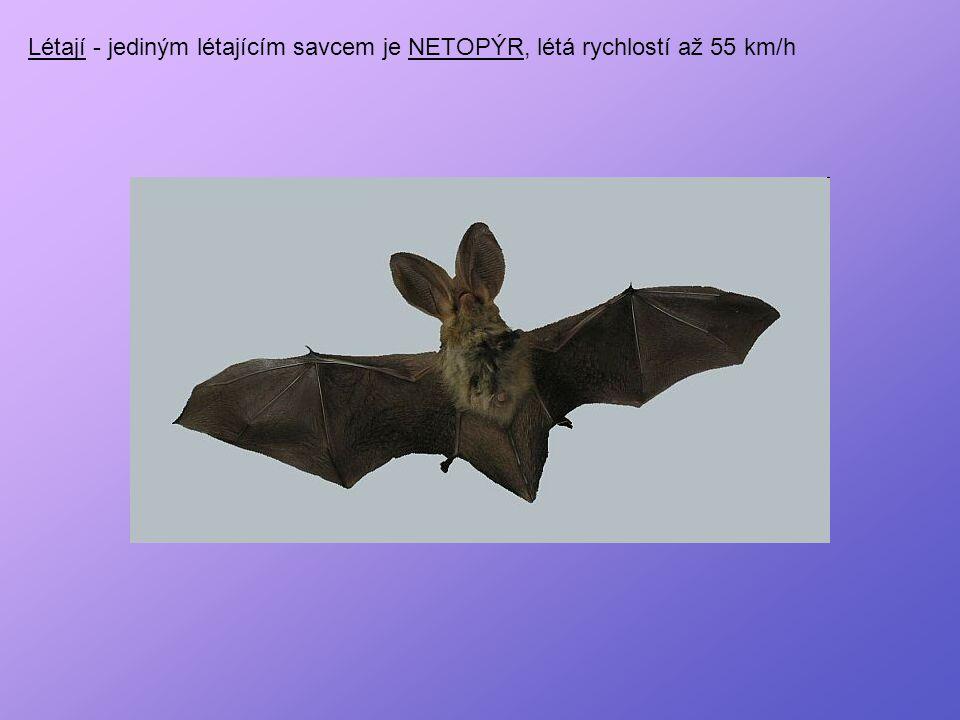 Létají - jediným létajícím savcem je NETOPÝR, létá rychlostí až 55 km/h