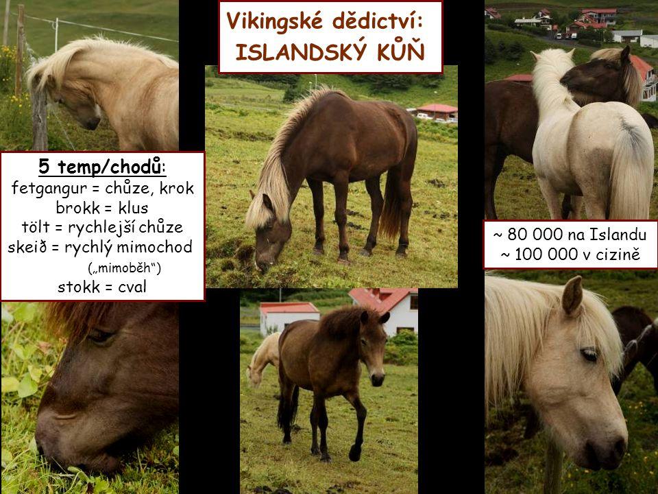 """Vikingské dědictví: ISLANDSKÝ KŮŇ 5 temp/chodů: fetgangur = chůze, krok brokk = klus tölt = rychlejší chůze skeið = rychlý mimochod (""""mimoběh"""") stokk"""
