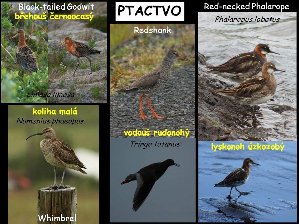 PTACTVO Red-necked Phalarope lyskonoh úzkozobý Phalaropus lobatus Redshank vodouš rudonohý Tringa totanus břehouš černoocasý Black-tailed Godwit Limos