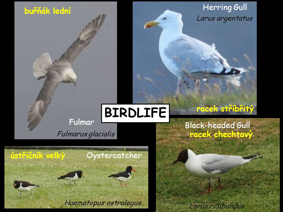 BIRDLIFE Oystercatcherústřičník velký Haematopus ostralegus Black-headed Gull racek chechtavý Larus ridibundus Herring Gull racek stříbřitý Larus arge