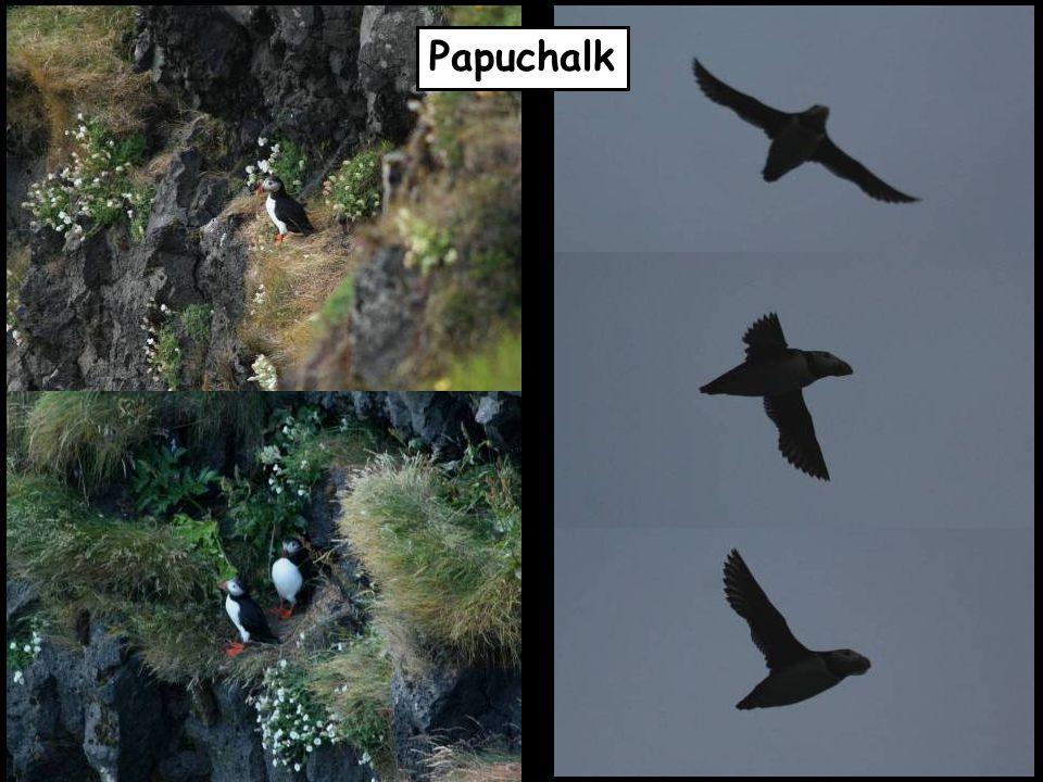 Papuchalk