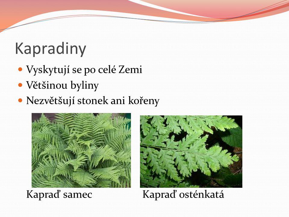 Kapradiny Vyskytují se po celé Zemi Většinou byliny Nezvětšují stonek ani kořeny Kapraď samecKapraď osténkatá