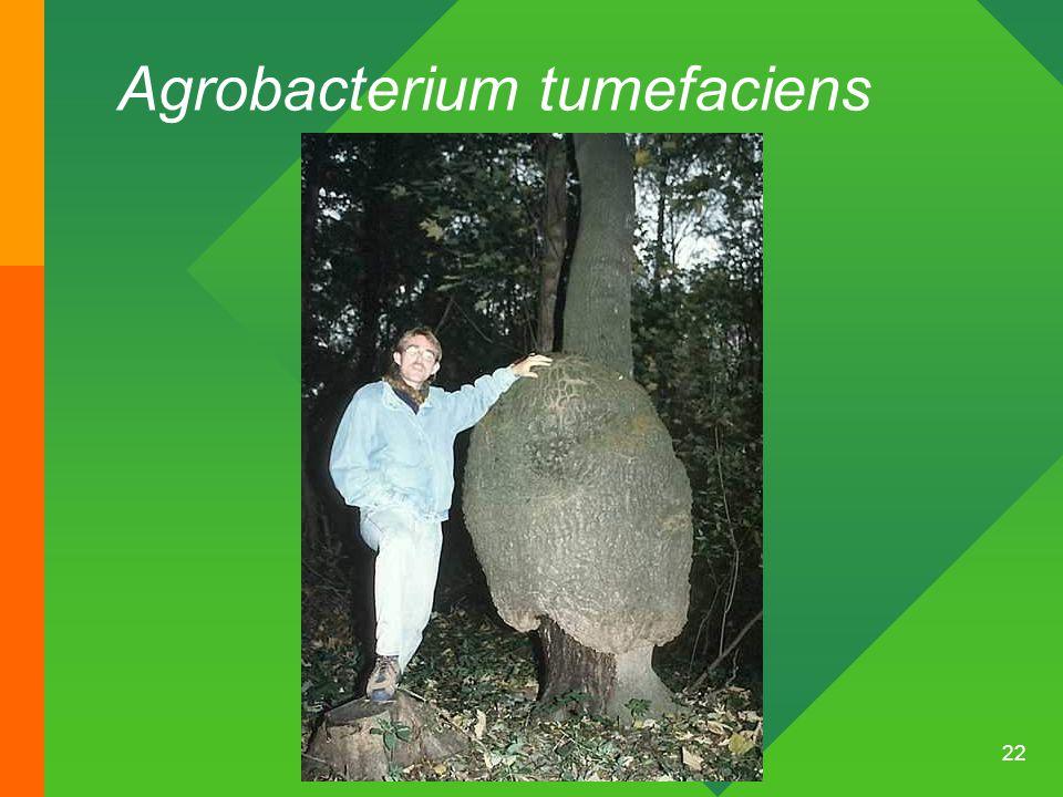 22 Agrobacterium tumefaciens
