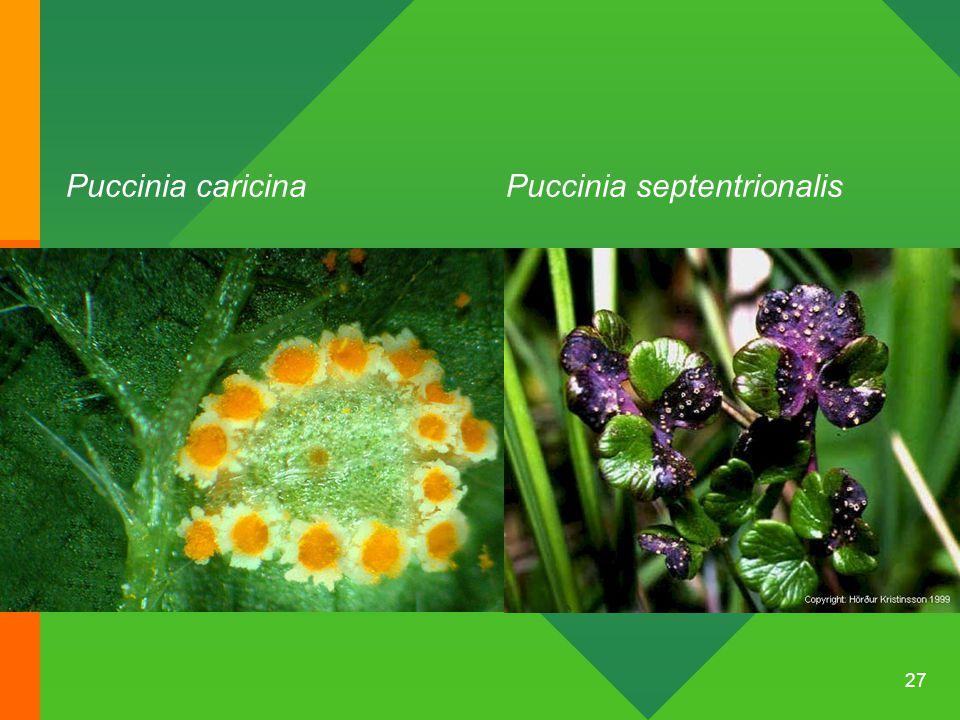 27 Puccinia caricinaPuccinia septentrionalis
