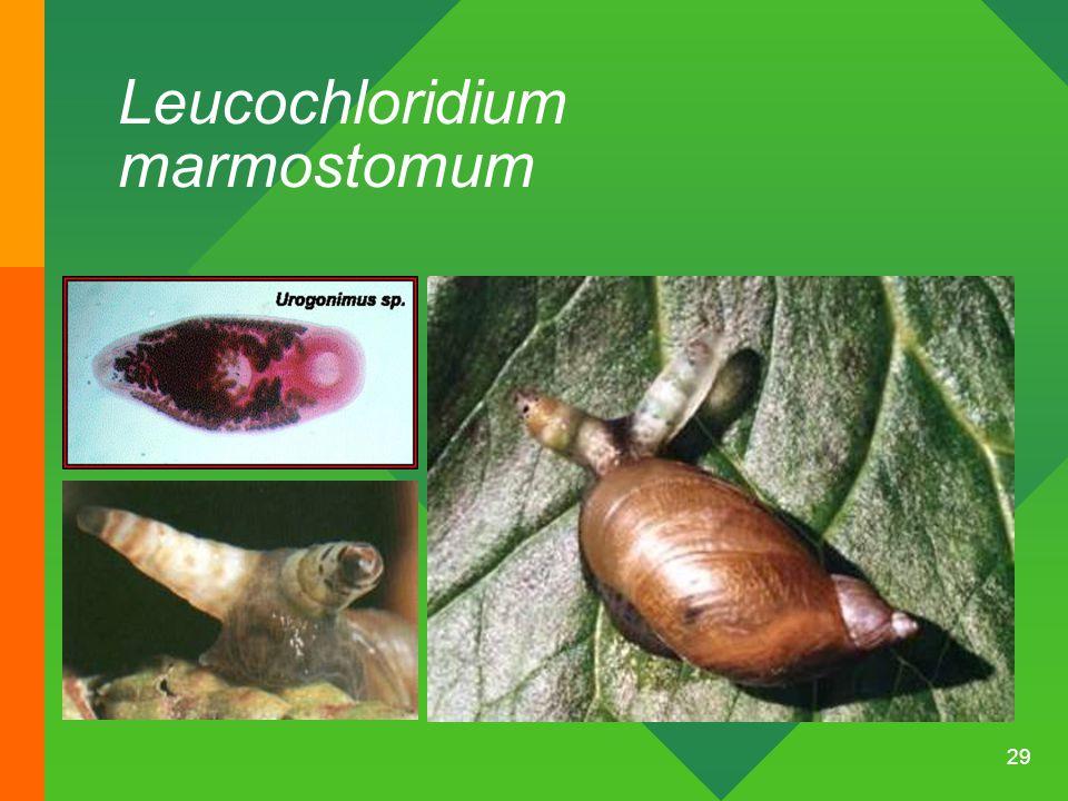 29 Leucochloridium marmostomum