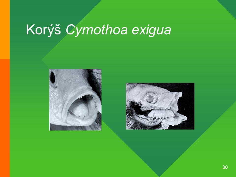 30 Korýš Cymothoa exigua