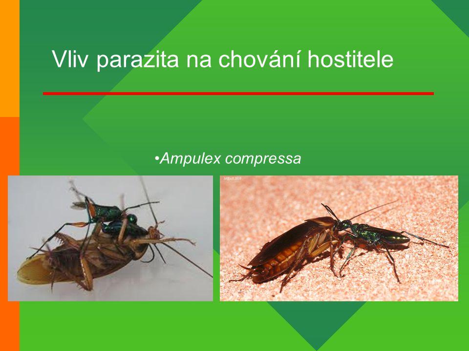 Vliv parazita na chování hostitele Ampulex compressa