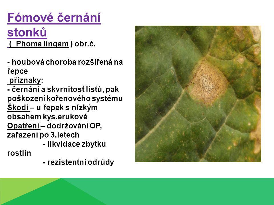 Fómové černání stonků ( Phoma lingam ) obr.č. - houbová choroba rozšířená na řepce příznaky: - černání a skvrnitost listů, pak poškození kořenového sy