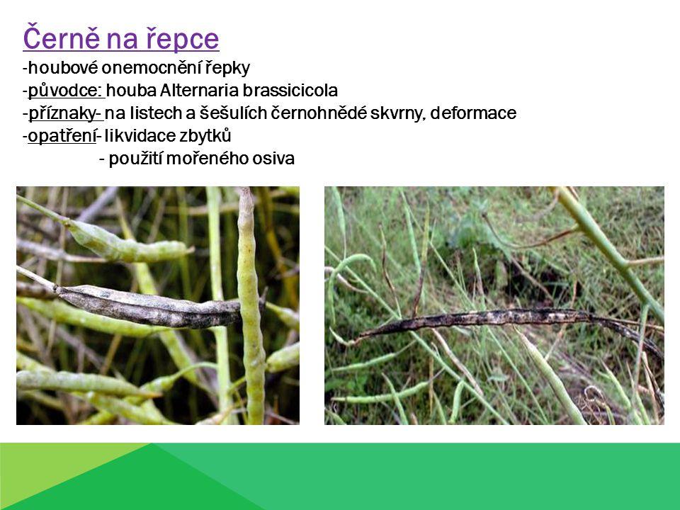 Černě na řepce -houbové onemocnění řepky -původce: houba Alternaria brassicicola -příznaky- na listech a šešulích černohnědé skvrny, deformace -opatře