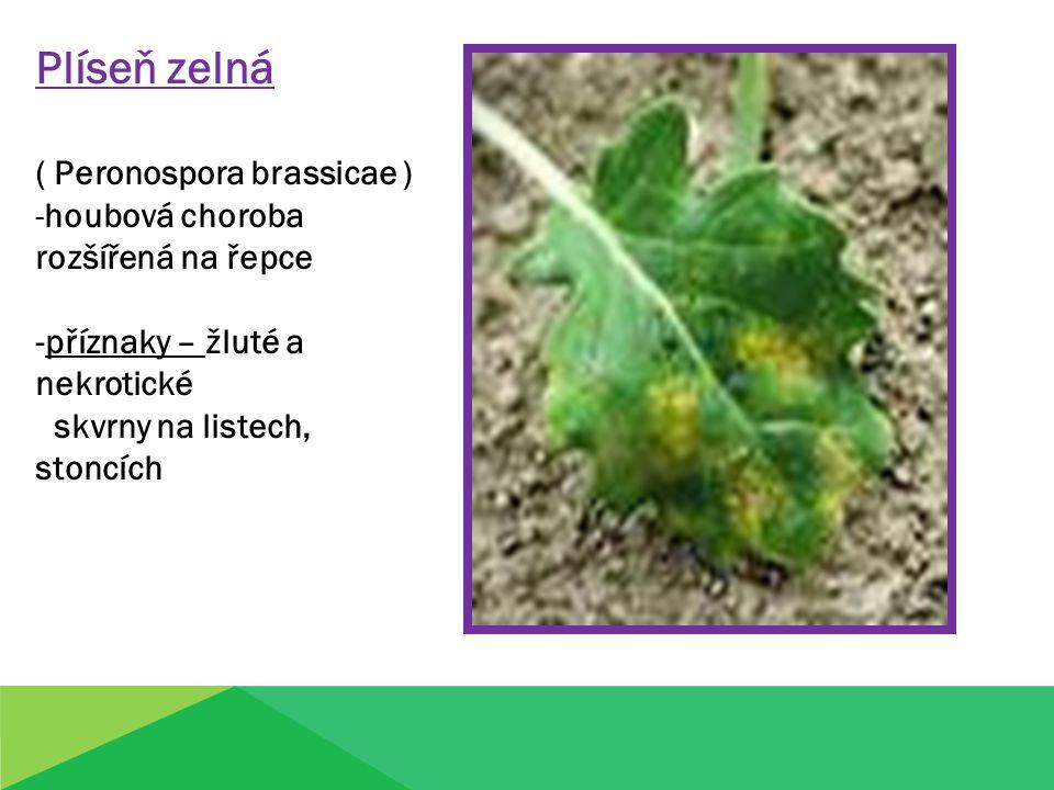 Plíseň zelná ( Peronospora brassicae ) -houbová choroba rozšířená na řepce -příznaky – žluté a nekrotické skvrny na listech, stoncích