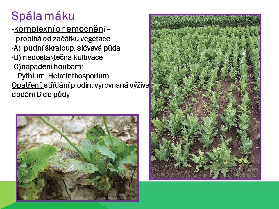 Spála máku -komplexní onemocněn í – - probíhá od začátku vegetace -A) půdní škraloup, slévavá půda -B) nedosta\tečná kultivace -C)napadení houbam: Pyt