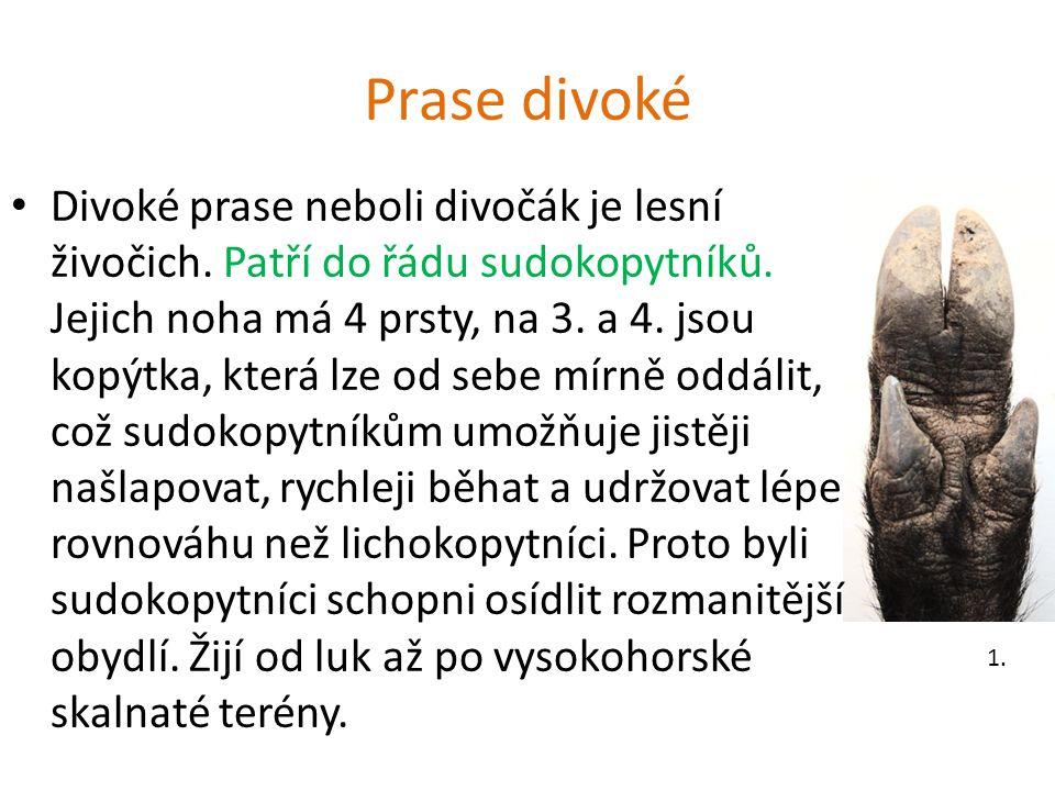 Prase divoké Divoké prase neboli divočák je lesní živočich. Patří do řádu sudokopytníků. Jejich noha má 4 prsty, na 3. a 4. jsou kopýtka, která lze od
