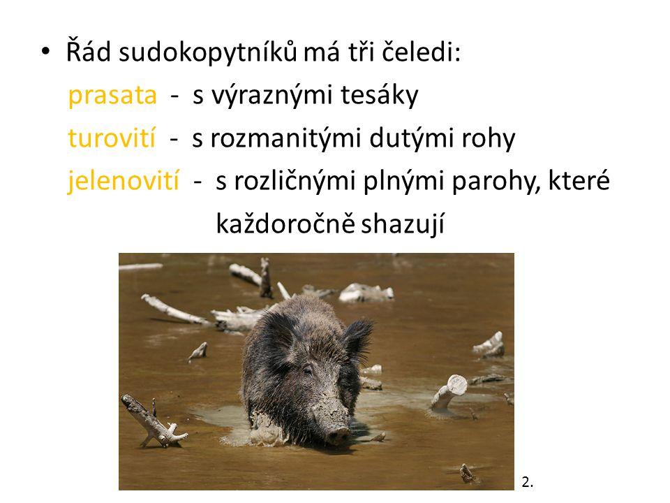 Řád sudokopytníků má tři čeledi: prasata - s výraznými tesáky turovití - s rozmanitými dutými rohy jelenovití - s rozličnými plnými parohy, které každoročně shazují 2.